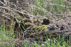 Tamia, striatus orientale del Tamias Immagini Stock Libere da Diritti
