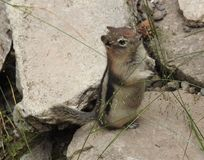 Tamia sveglia che sta su una roccia Fotografia Stock Libera da Diritti