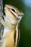 Tamias sibiricus. Ground squirrel sits in a tree in the forest Stock Photography