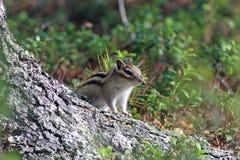 Tamias sibiricus asiaticus Chipmunk spojrzenia przez cedru zdjęcia royalty free