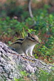 Tamias sibiricus were asiaticus. A Chipmunk peeks out from behin. Tamias sibiricus were asiaticus. Chipmunk in Siberia closeup Stock Image