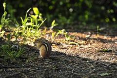 Tamias striatus. The eastern chipmunk Tamias striatus is a chipmunk species found in eastern North America Royalty Free Stock Photos