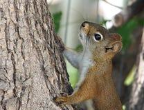 Free Tamiasciurus Hudsonicus Or Red Squirrel In Tree Royalty Free Stock Photos - 74921858
