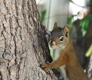 Tamiasciurus Hudsonicus or red squirrel in tree Stock Photo