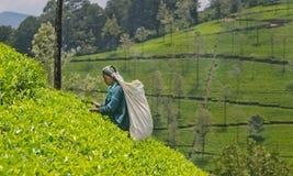 Tamil kobieta od sri lanki łama herbacianych liście Obraz Stock