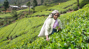 Tamil kobieta od sri lanki łama herbacianych liście Fotografia Royalty Free