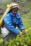 Tamil woman picks fresh tea leaves Stock Photography