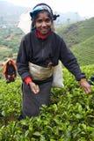 Tamil woman picks fresh tea leaves Royalty Free Stock Photos