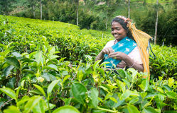 A tamil woman from sri lanka breaks tea leaves Stock Image