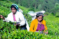 Tamil woman from Sri Lanka breaks tea leaves Stock Photography