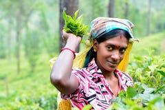 Tamil woman from Sri Lanka breaks tea leaves. NUWARA ELIYA, SRI LANKA – JANUARY 01: Tamil woman from Sri Lanka breaks tea leaves on tea plantation with stock image