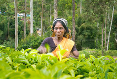 A tamil woman from sri lanka breaks tea leaves Stock Images