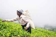 A tamil woman from sri lanka breaks tea leaves Stock Photography