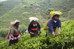 Tamil women pick fresh tea leaves Royalty Free Stock Photos