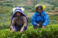 Tamil women pick fresh tea leaves Stock Image