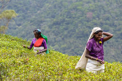 Tamil women working manually in tea plantation Royalty Free Stock Photo