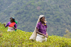 Tamil women working manually in tea plantation Royalty Free Stock Photography