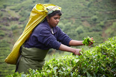 Tamilfrau wählt frische Teeblätter aus Stockbilder