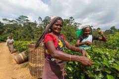 Tamilkvinnaarbetare Arkivbild