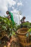 Tamilscy kobieta pracownicy Zdjęcia Stock