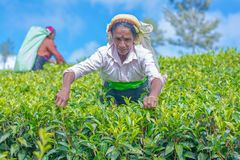 Tamilska kobieta która pracuje przy Dambetenna nieruchomością łama herbacianych liście Zdjęcie Stock
