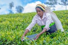 Tamilska kobieta która pracuje przy Dambetenna nieruchomością łama herbacianych liście Obrazy Royalty Free