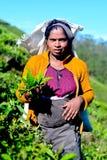Tamilska kobieta od Sri Lanka łama herbacianych liście Obrazy Royalty Free