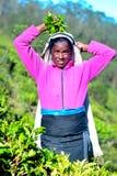 Tamilska kobieta od Sri Lanka łama herbacianych liście Fotografia Royalty Free