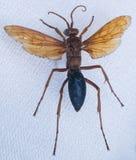 Tamisieri Guerin del hemipepsis del primer de la avispa Imágenes de archivo libres de regalías