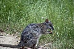 Tammar wallaby obraz stock