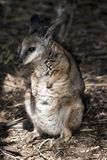 Tammar wallaby obrazy royalty free