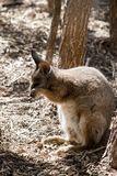 Tammar wallaby obraz royalty free