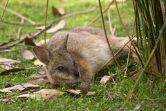Tammar Wallaby royalty free stock photography