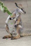 Tammar Wallaby Royalty Free Stock Photos