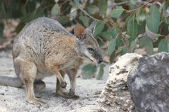 Tammar Wallaby, Australia Royalty Free Stock Image