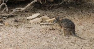 Tammar Wallaby, eugenii Macropus, στο νησί 4K καγκουρό απόθεμα βίντεο