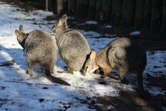 Tammar wallaby group Royalty Free Stock Photos