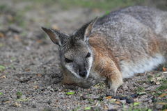 Tammar wallaby Royalty Free Stock Images
