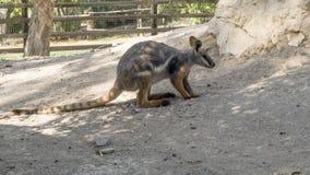 Tammar Wallaby Macropus eugenii obsiadanie w krzaku, Gan Guru - Australijski park w Izrael, kibuc Nir David fotografia royalty free