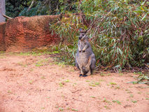 TAMMAR WALLABY in Perth zoo Royalty Free Stock Photo