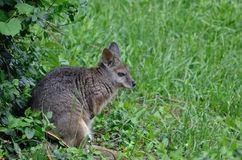Tammar wallaby3 Royalty Free Stock Photos