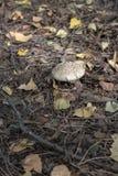 Tampão da pantera entre a folha caída pitoresca do outono Fotos de Stock