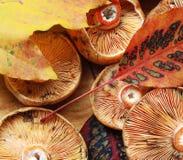 Tampão do leite do açafrão e folhas de outono Fotos de Stock Royalty Free