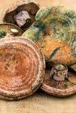 Tampão do leite do açafrão (Lactarius Deliciosus) Imagens de Stock
