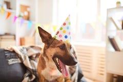 Tampão vestindo do aniversário do cão fotografia de stock royalty free