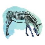 Tampa colorida da zebra da aquarela Fotografia de Stock Royalty Free