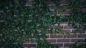 tampa da parede de tijolos pelas folhas verdes foto de stock