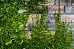Tampa de incandescência da planta na parede de tijolo velha fotos de stock royalty free
