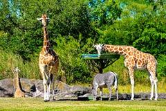 Giraffes and zebra feeding, while antelope walks at Bush Gardens Tampa Bay stock image