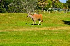 Sable antelopes walking on african similar scenery at Bush Gardens Tampa Bay royalty free stock images